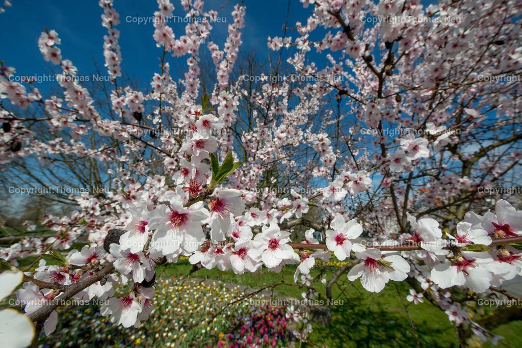 Blütenrausch-9 | Schon früh im Jahr blühen an der Hessischen Bergstraße die Mandelbäume in den Weinbergen,.