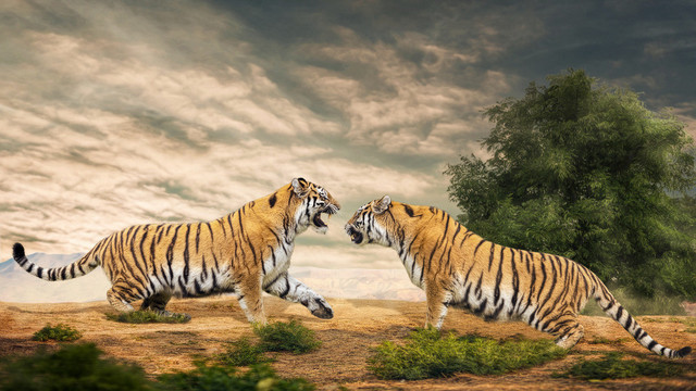 Kämpfende Tiger