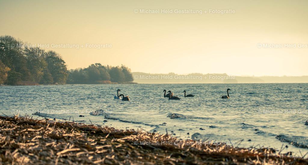 09 September | Schwäne am See | Schwäne mit Jungtieren auf dem Selenter See