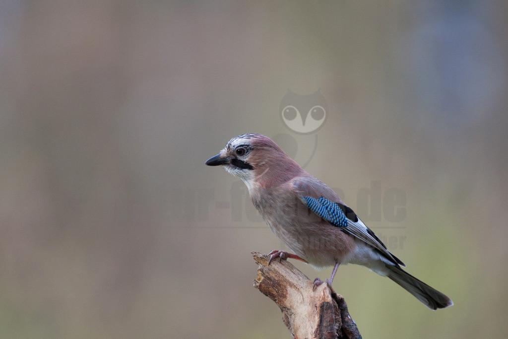 20081214104632 | Der Eichelhäher ist ein Singvogel aus der Familie der Rabenvögel. Er ist über Europa, Teile Nordafrikas und des Nahen Ostens sowie in einem breiten Gürtel durch Asien und dort südwärts bis nach Indochina verbreitet.