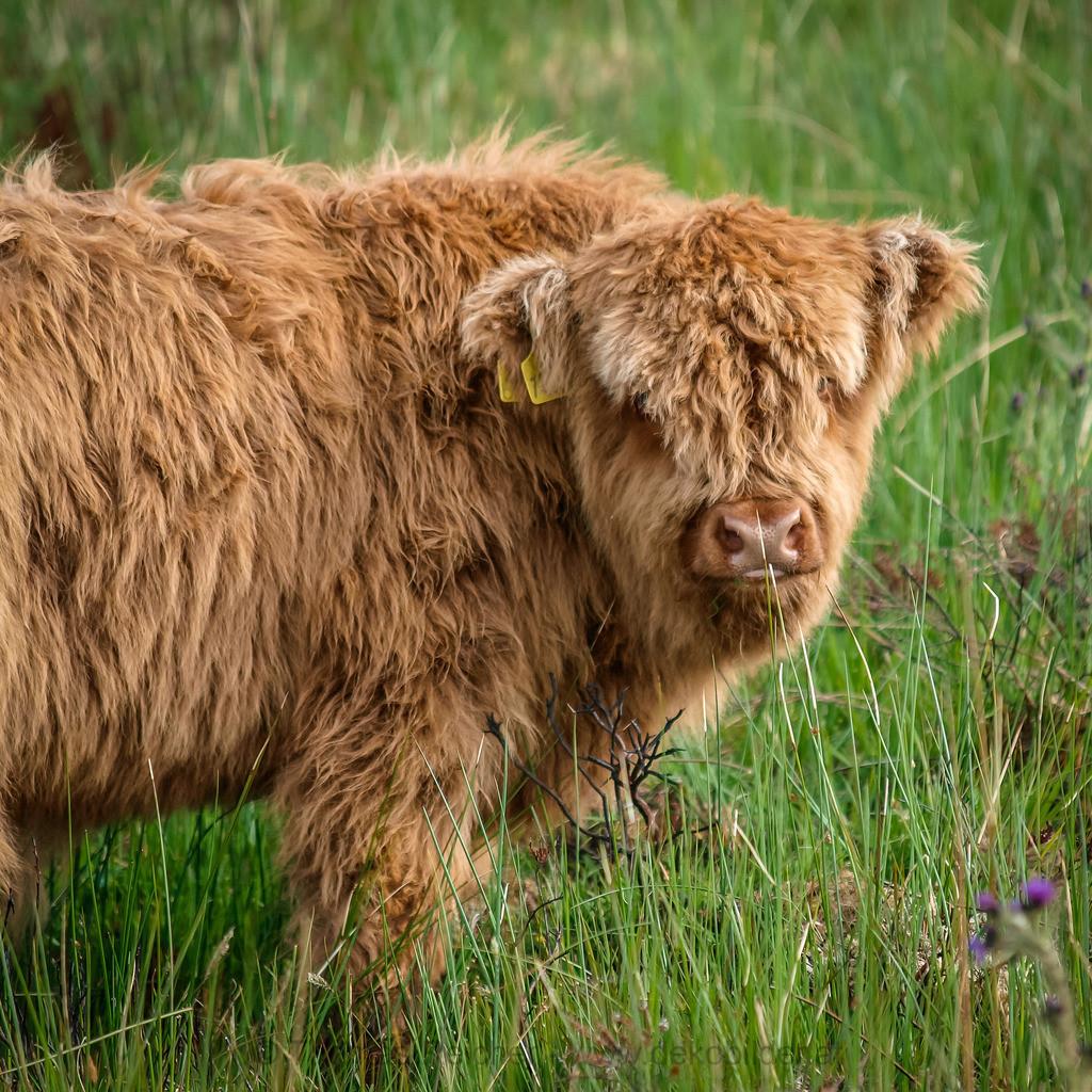 _6131932 | Beim Durchforsten alter Bilder habe ich mich entschlossen, heute einmal einen Highland Cattle Day zu machen. Schottland 2009, Highland Calf.