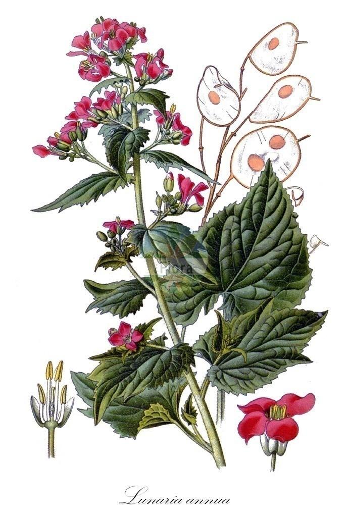 Historical drawing of Lunaria annua (Honesty) | Historical drawing of Lunaria annua (Honesty) showing leaf, flower, fruit, seed