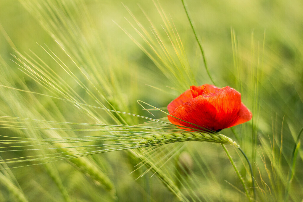 Mohnblume im Gerstenfeld | Field Poppy