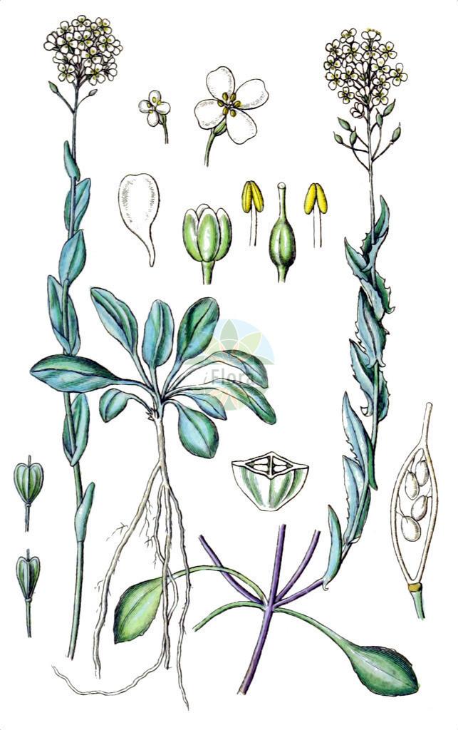 Noccaea alpestris | Historische Abbildung von Noccaea alpestris. Das Bild zeigt Blatt, Bluete, Frucht und Same. ---- Historical Drawing of Noccaea alpestris.The image is showing leaf, flower, fruit and seed.