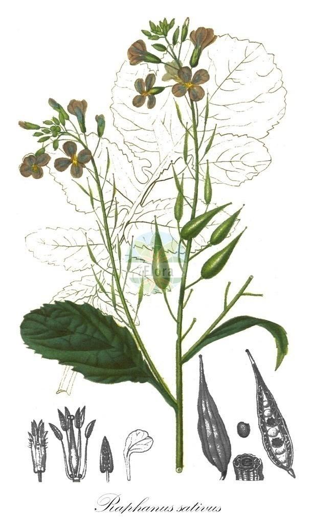 Historical drawing of Raphanus sativus (Garden Radish) | Historical drawing of Raphanus sativus (Garden Radish) showing leaf, flower, fruit, seed