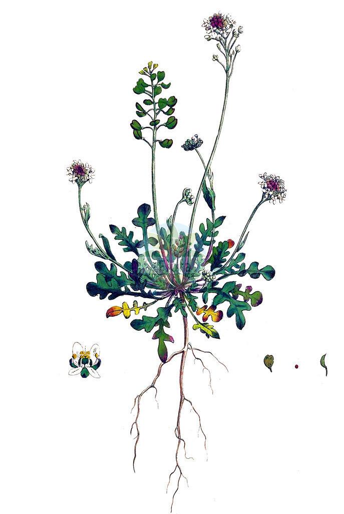 Teesdalia nudicaulis (Nacktstaengeliger Bauernsenf - Shepherd's Cre | Historische Abbildung von Teesdalia nudicaulis (Nacktstaengeliger Bauernsenf - Shepherd's Cress). Das Bild zeigt Blatt, Bluete, Frucht und Same. ---- Historical Drawing of Teesdalia nudicaulis (Nacktstaengeliger Bauernsenf - Shepherd's Cress).The image is showing leaf, flower, fruit an