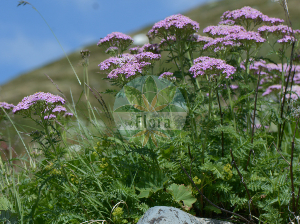 Achillea aspleniifolia (Farnblaettrige Schafgarbe) | Foto von Achillea aspleniifolia (Farnblaettrige Schafgarbe). Das Foto wurde in Chanousia, Kleiner St. Bernhard, Auvergne-Rhône-Alpes, Frankreich aufgenommen. ---- Photo of Achillea aspleniifolia (Farnblaettrige Schafgarbe).The picture was taken in Chanousia, Little St. Bernhard, Auvergne-Rhône-Alpes, France.