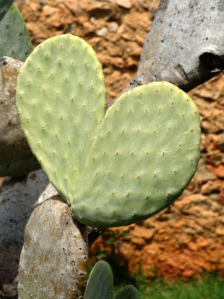 Mallorca | Spanien, Balearen, Mallorca : Kaktus Blatt, in Herzform.