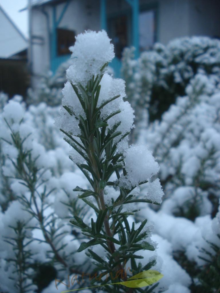 Rosmarin mit Schneekleid
