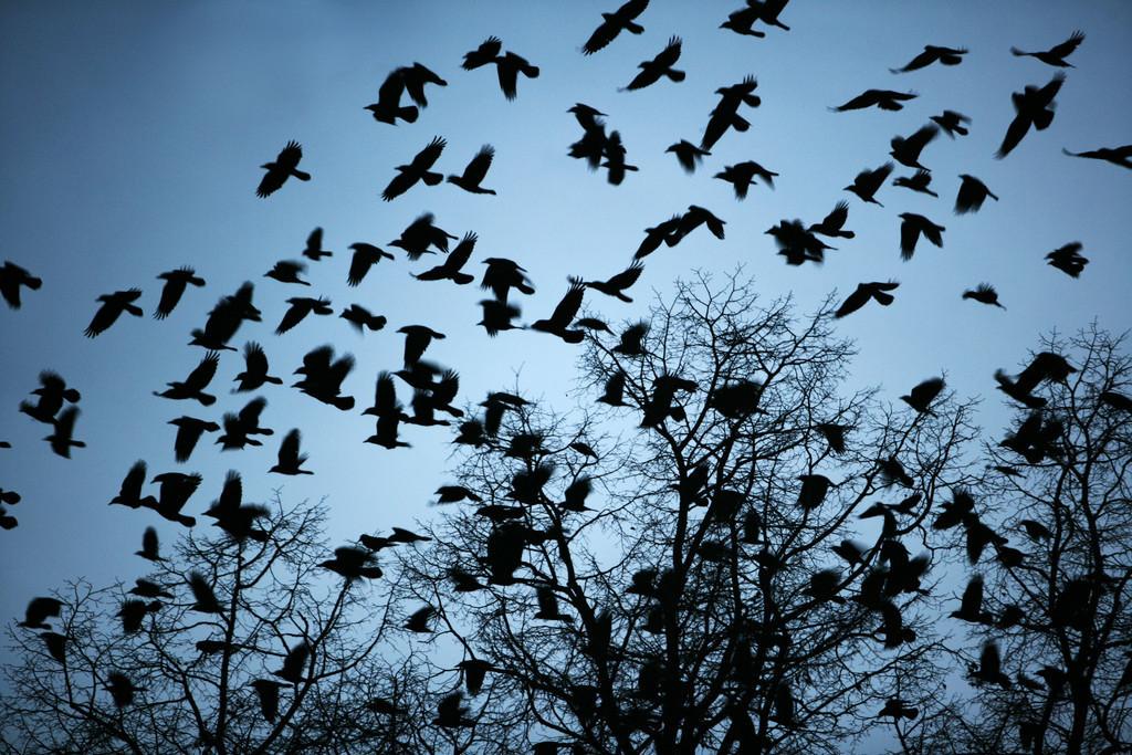 Kraehen Voegel   Kraehen Voegel hocken in der Abenddaemmerung auf Baeumen und fliegen immer wieder in grossen Schwaermen  umher.
