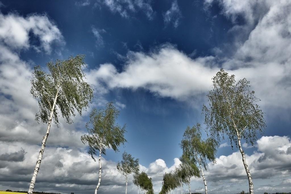 Birkenallee zum Himmel | Birkenallee mit Blick in den Himmel