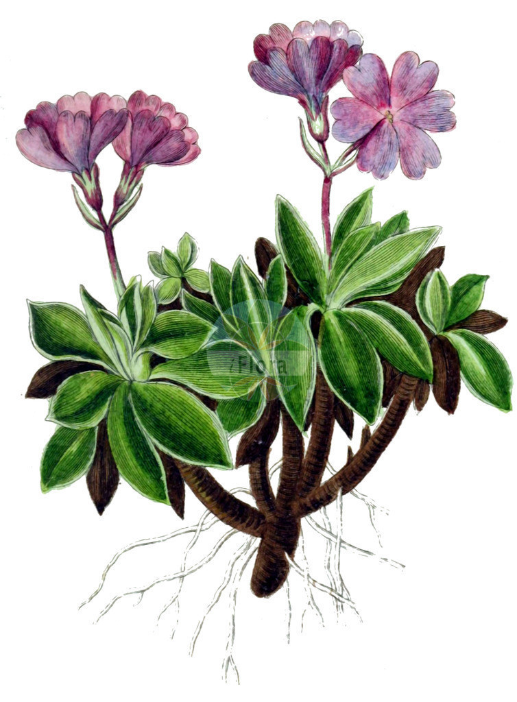 Primula integrifolia | Historische Abbildung von Primula integrifolia. Das Bild zeigt Blatt, Bluete, Frucht und Same. ---- Historical Drawing of Primula integrifolia.The image is showing leaf, flower, fruit and seed.