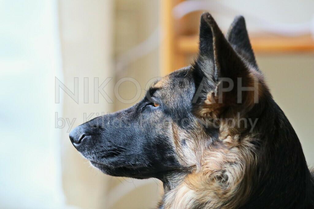 Die strengen Augen des Gesetzes | Schäferhund auf Wachposten