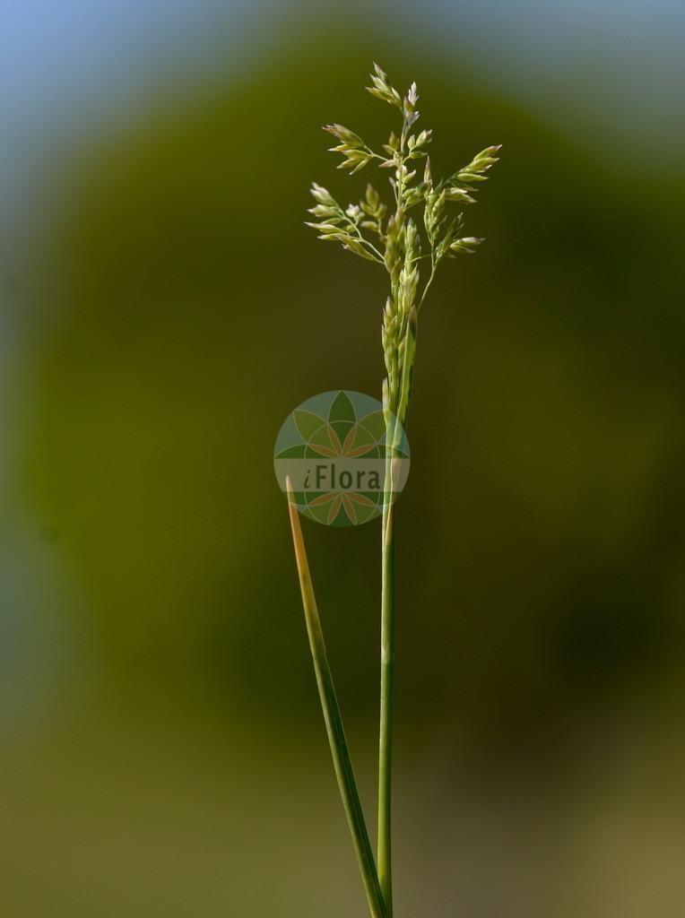 Poa angustifolia (Schmalblaettriges Wiesen-Rispengras - Narrow-leaved Meadow-Grass) | Foto von Poa angustifolia (Schmalblaettriges Wiesen-Rispengras - Narrow-leaved Meadow-Grass). Das Bild zeigt Blatt und Bluete. Das Foto wurde in Obermoerlen, Hessen, Deutschland, Wetterau und Giessener Becken aufgenommen. ---- Photo of Poa angustifolia (Schmalblaettriges Wiesen-Rispengras - Narrow-leaved Meadow-Grass).The image is showing leaf and flower.The picture was taken in Obermoerlen, Hesse, Germany, Wetterau and Giessener Becken.