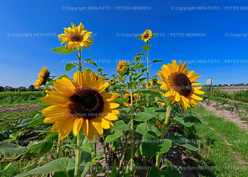 Sonnenblumen in Weiterstadt-Gräfenhausen copyright by HEN-FOTO | Sonnenblumen in Weiterstadt-Gräfenhausen auf einem Blumenfeld zum Selbstpflücken bei Sonnenschein und blauem Himmel copyright by HEN-FOTO Peter Henrich