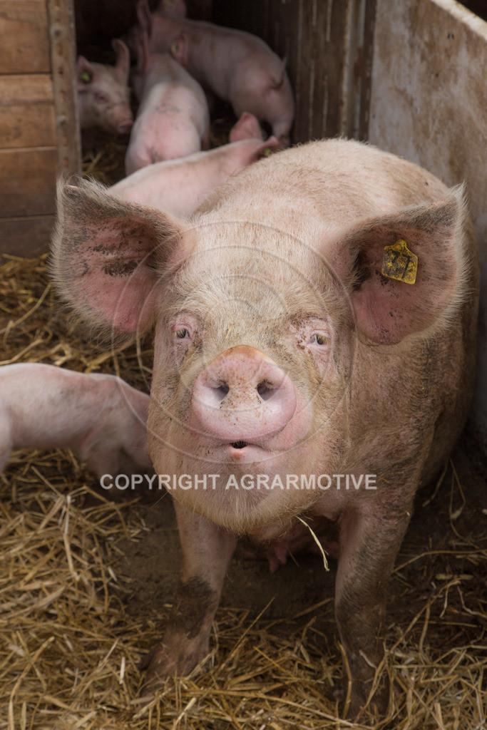 20160705-IMG_7851 | glückliche Schweine