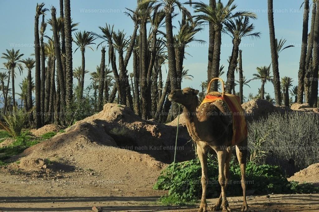 Kamel in der Palmeraie | Kamel in der Palmeraie