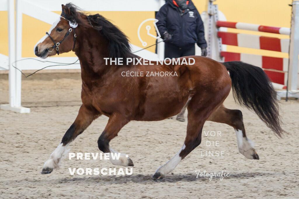 170204-34-WPA-CeulanMasterclass05 | Ceulan Masterclass von Weston Distinction aus der Ceulan Mariah von Twyford Spring / Welsh Mountain Pony Sek. A