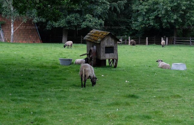 Schafe auf der grünen Wiese | Schafe auf der Weide mit einer rustikalen Tränke als Radwagen.