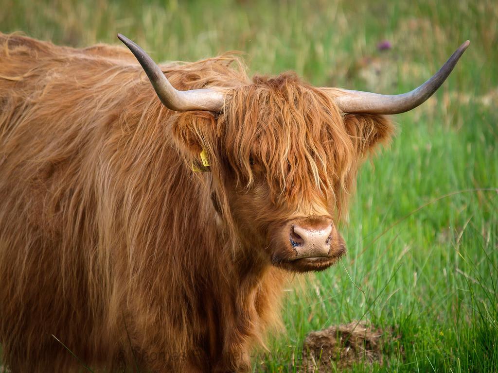 _6131924   Beim Durchforsten alter Bilder habe ich mich entschlossen, heute einmal einen Highland Cattle Day zu machen. Schottland 2009, Highland Cow.