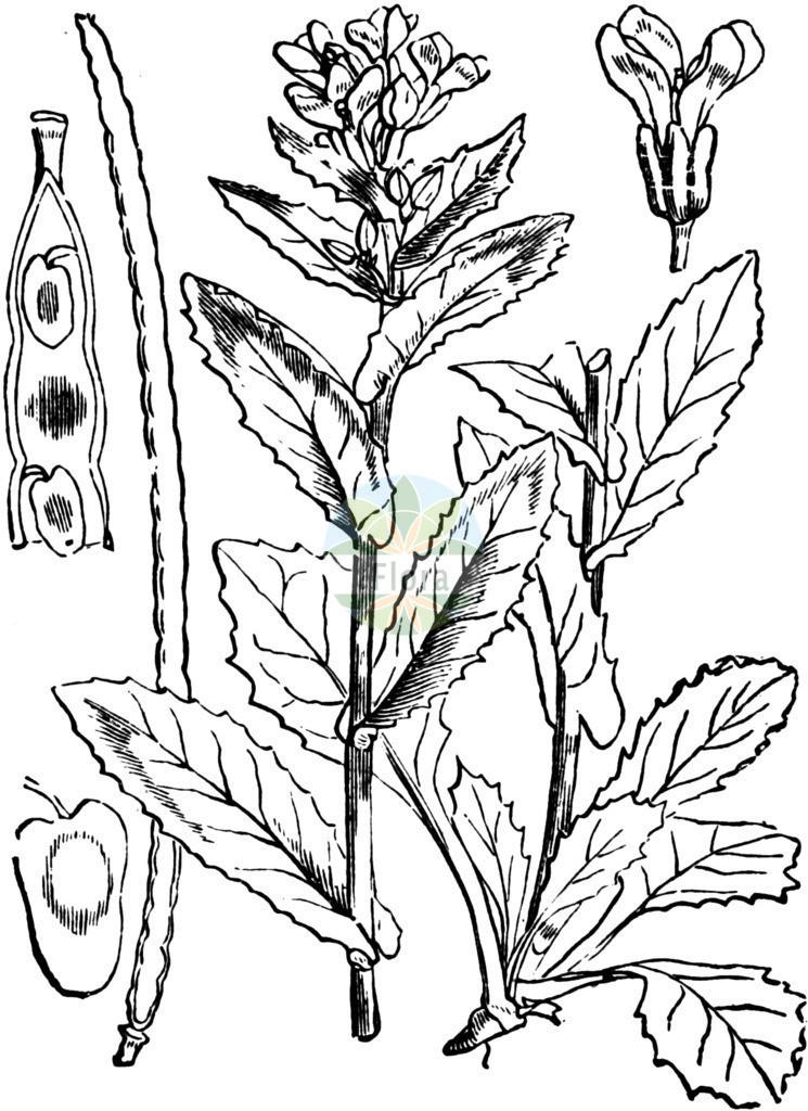 Pseudoturritis turrita (Turm-Gaensekresse - Tower Cress) | Historische Abbildung von Pseudoturritis turrita (Turm-Gaensekresse - Tower Cress). Das Bild zeigt Blatt, Bluete, Frucht und Same. ---- Historical Drawing of Pseudoturritis turrita (Turm-Gaensekresse - Tower Cress).The image is showing leaf, flower, fruit and seed.