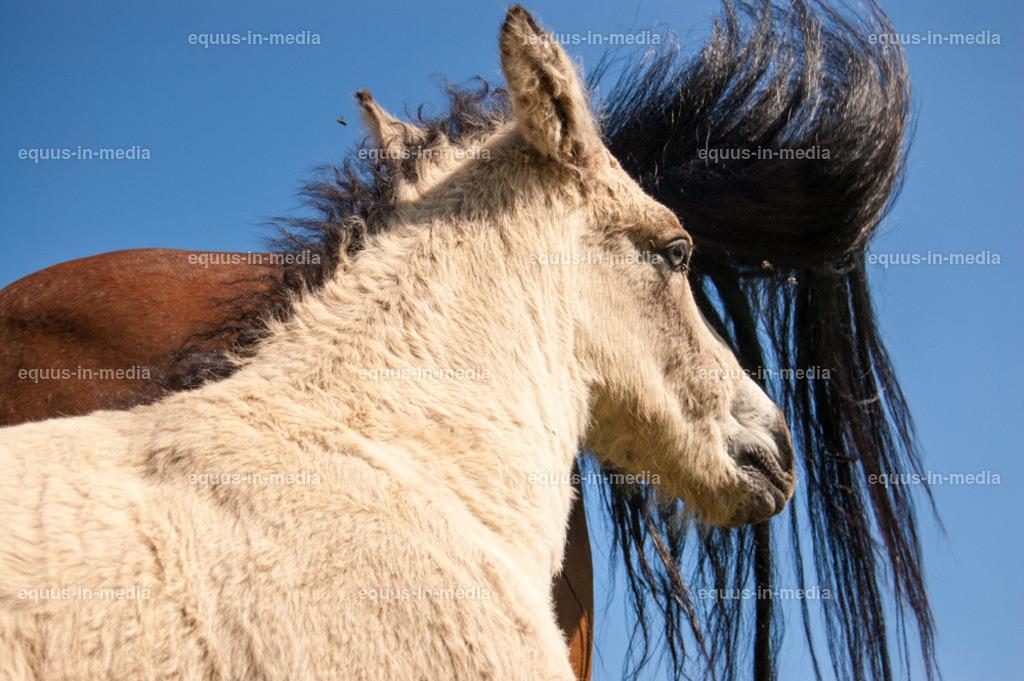 20100616-DSC_8053   Curly Horse Fohlen steht dicht bei seiner Mutter