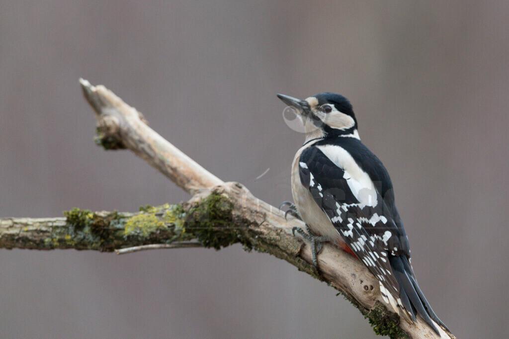 20191229-663A6366 | Der Buntspecht (Dendrocopos major, Syn.: Picoides major) ist eine Vogelart aus der Familie der Spechte (Picidae). Der kleine Specht besiedelt große Teile des nördlichen Eurasiens sowie Nordafrika und bewohnt Wälder fast jeder Art sowie Parks und baumreiche Gärten. Die Nahrung wird in allen Strata des Waldes (mit Ausnahme des Waldbodens) gesucht, jedoch vor allem in den Baumkronen. Sie besteht sowohl aus tierischen Anteilen als auch, vor allem im Winter, aus pflanzlichem Material. Das Nahrungsspektrum ist sehr breit und umfasst verschiedenste Insekten und andere Wirbellose ebenso wie kleine Wirbeltiere und Vogeleier, Samen, Beeren und andere Früchte sowie Baumsäfte.