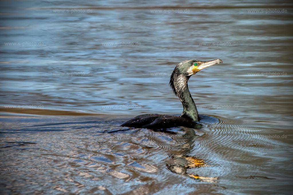 Cormoran bei der Futtersuche | Ist wirklich wahnsinn, wie lange diese Vögel unter Wasser bleiben können...