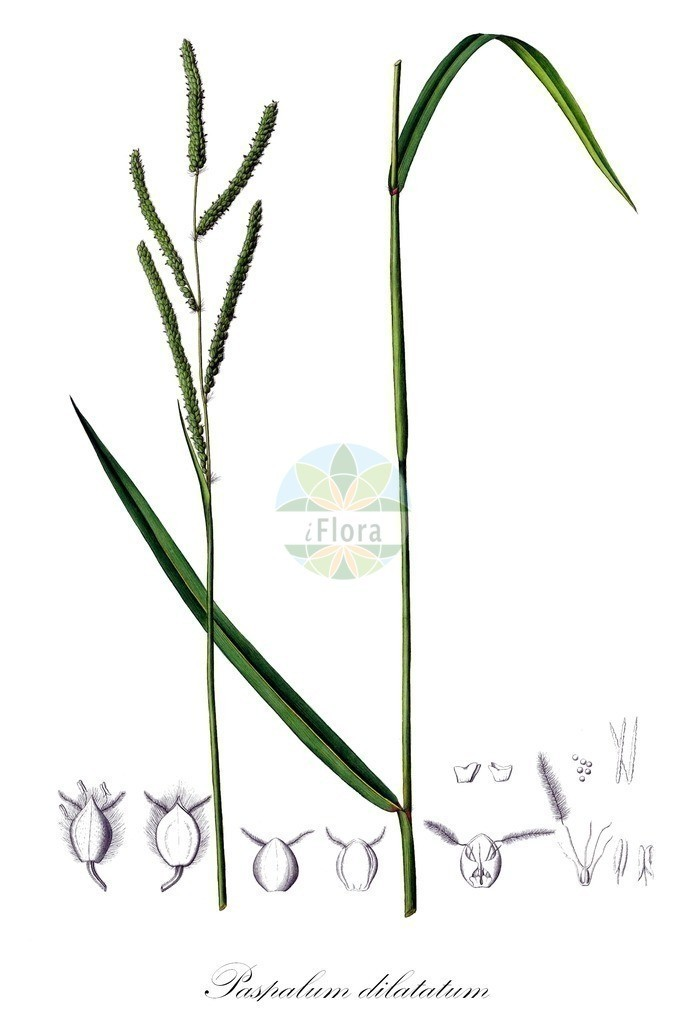 Historical drawing of Paspalum dilatatum | Historical drawing of Paspalum dilatatum showing leaf, flower, fruit, seed