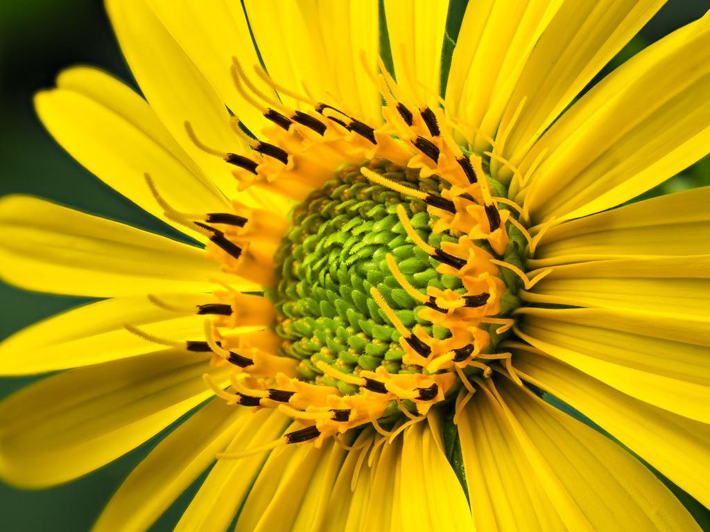 Durchwachsene Silphie - Silphium perfoliatum | Gelbe Blüte einer Durchwachsenen Silphie (Silphium perfoliatum).