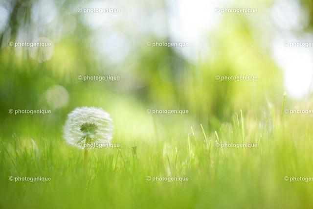 Pusteblume 3 | Pusteblume im Gras bei Tageslicht vor einem hellen Hintergrund mit Fokus auf der Blüte