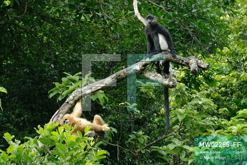 MW02266-FF   Vietnam   Provinz Ninh Binh   Reportage: Endangered Primate Rescue Center   Ein Weißwangen-Schopfgibbon (Weibchen) und ein Delacour-Langur (Affe mit weißen Shorts). Der Deutsche Tilo Nadler leitet das Rettungszentrum für gefährdete Primaten im Cuc-Phuong-Nationalpark.   ** Feindaten bitte anfragen bei Mario Weigt Photography, info@asia-stories.com **