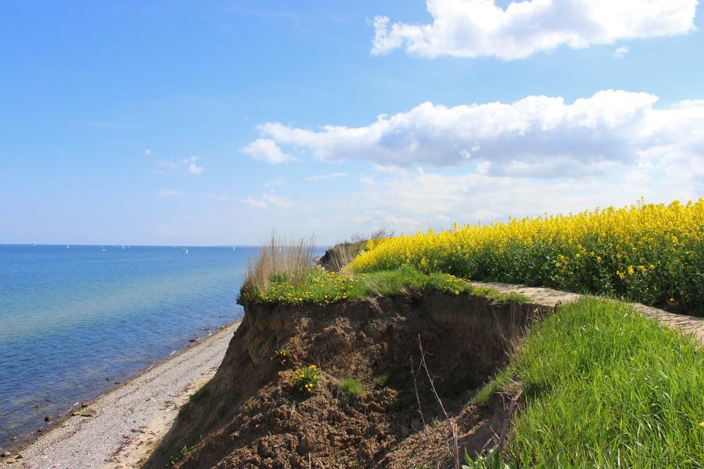 Raps an der Ostsee | Raps an der Steilküste