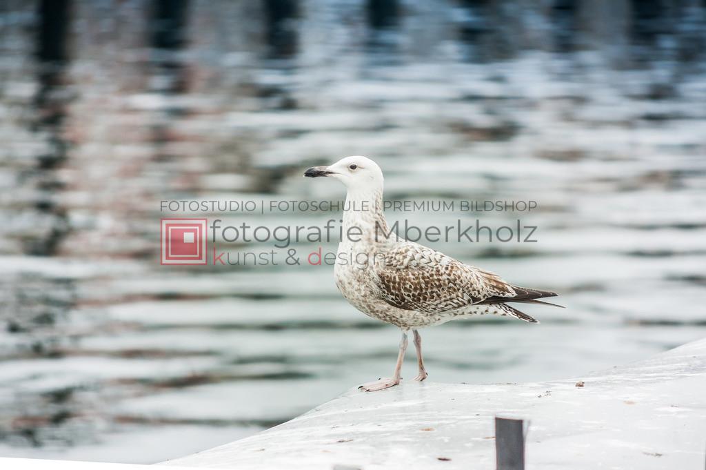 @marko_berkholz_mberkholz_MBE0363 | Die Bildergalerie Möwen des Warnemünder Fotografen Marko Berkholz, zeigt den gefräßigen aber auch sympathischen Räuber der Küste.