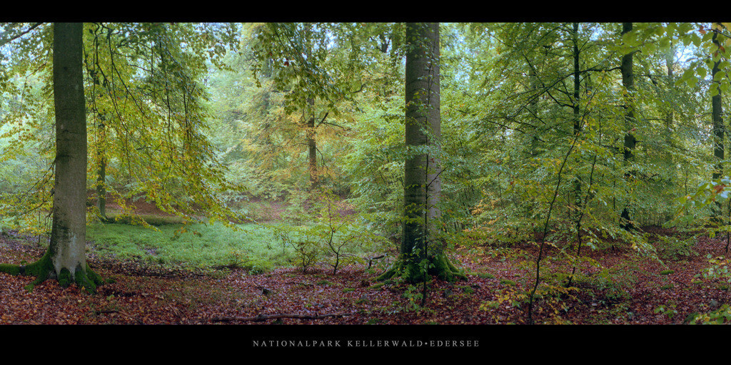 Nationalpark Kellerwald-Edersee | Buchenwald mit Buchen im Nationalpark Kellerwald-Edersee im Herbst
