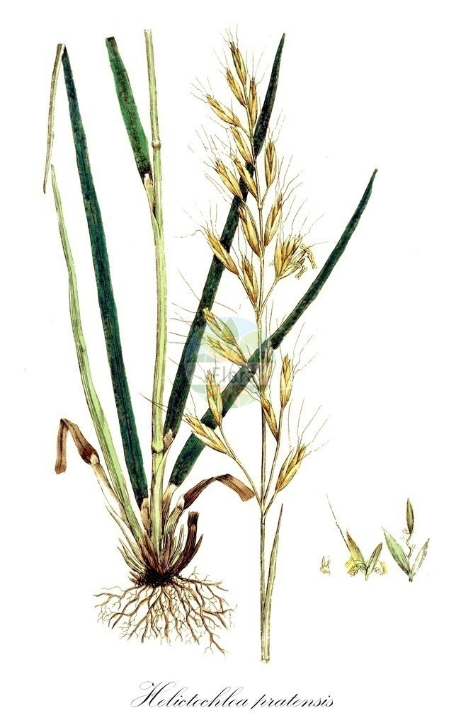 Historical drawing of Helictochloa pratensis (Meadow Oat-grass)   Historical drawing of Helictochloa pratensis (Meadow Oat-grass) showing leaf, flower, fruit, seed