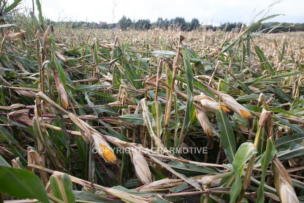 20170917-IMG_1141 | Ernteschaden im Mais durch Herbssturm