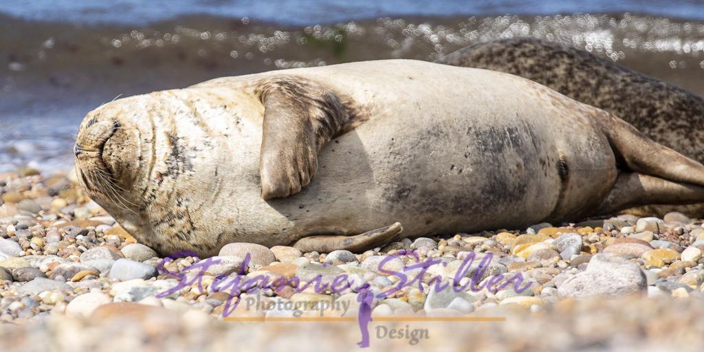 Seehund streichelt genüsslich seinen Bauch