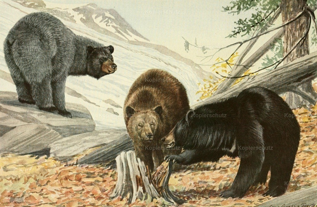 Fuertes_ L.A. (1874-1927) - Wild Animals of N. America 1918 - Bears