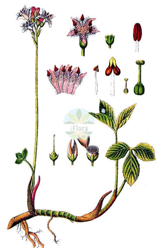 Menyanthes trifoliata (Fieberklee - Bogbean) | Historische Abbildung von Menyanthes trifoliata (Fieberklee - Bogbean). Das Bild zeigt Blatt, Bluete, Frucht und Same. ---- Historical Drawing of Menyanthes trifoliata (Fieberklee - Bogbean).The image is showing leaf, flower, fruit and seed.