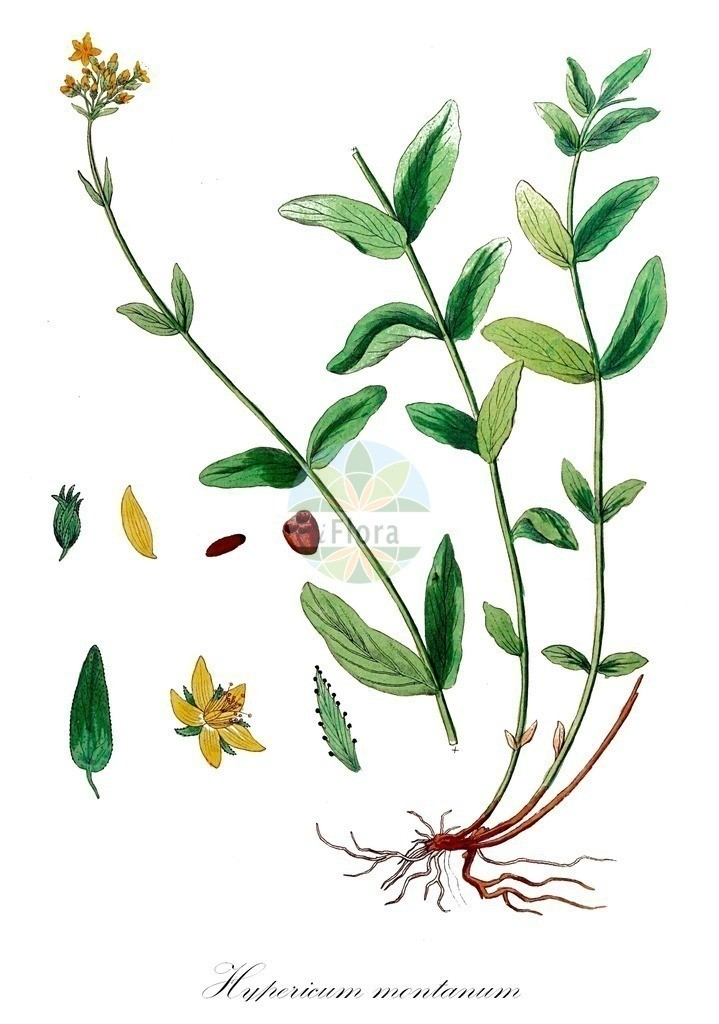 Historical drawing of Hypericum montanum (Pale St John's-wo   Historical drawing of Hypericum montanum (Pale St John's-wort) showing leaf, flower, fruit, s
