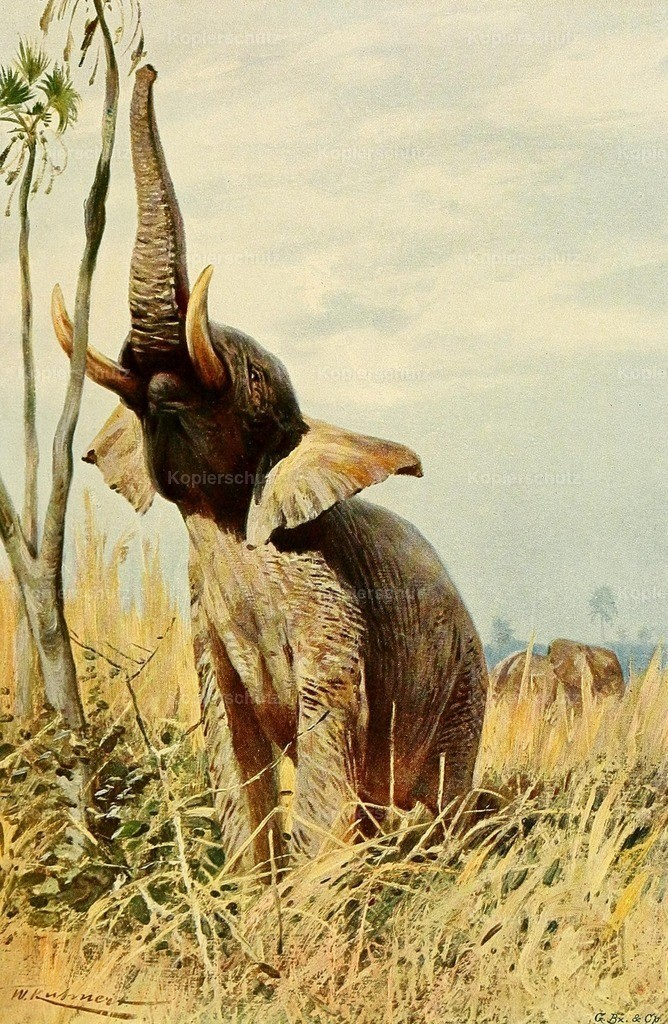 Kuhnert_ F.W. (1865-1926) - Wild Life of the World 1916 - African Elephant