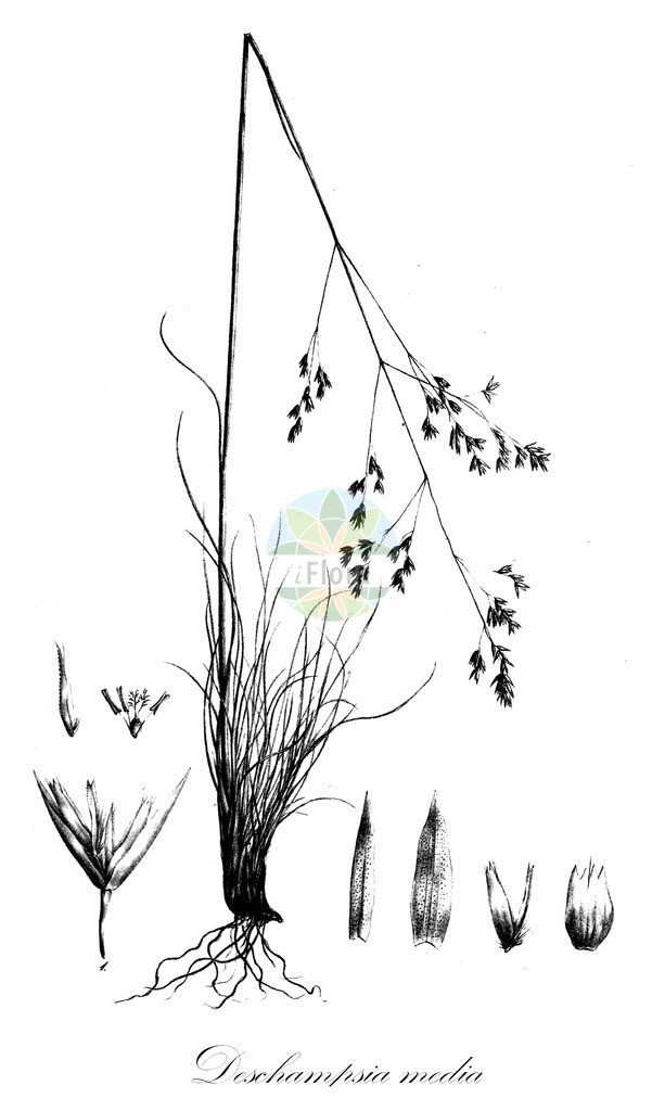 Historical drawing of Deschampsia media (Hair-grass) | Historical drawing of Deschampsia media (Hair-grass) showing leaf, flower, fruit, seed