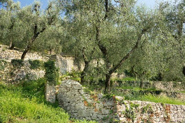 Verwaister Olivenhain hinter Steinmauern | Olivenhain hinter Steinmauern in Terrassengärten an einem Hang.