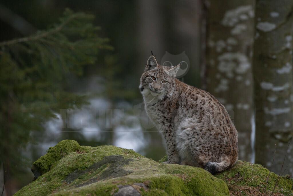 20080215_15203215255 | Die Luchse sind eine Gattung in der Familie der Katzen. Alle vier heute lebenden Arten kommen auf der Nordhalbkugel vor: Der Eurasische Luchs ist in weiten Teilen Europas und Asiens verbreitet.
