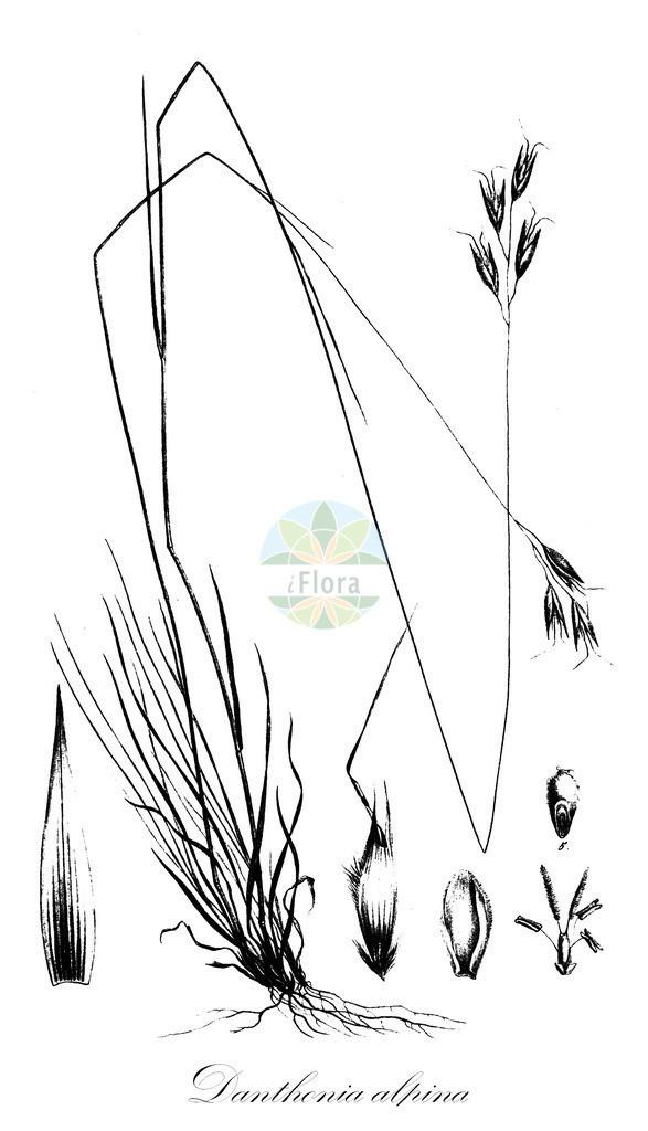 Historical drawing of Danthonia alpina (Alpine Oatgrass) | Historical drawing of Danthonia alpina (Alpine Oatgrass) showing leaf, flower, fruit, seed