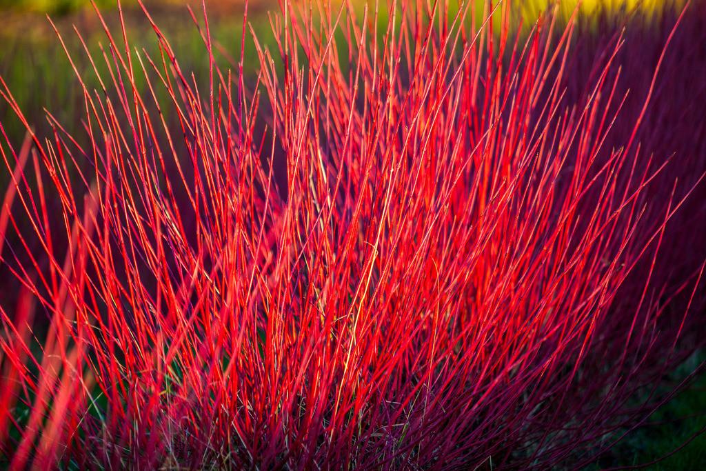 JT-121118-099 | Rote Heckenpflanzen, Sibirischer Hartriegel, Cornus alba Sibirica,