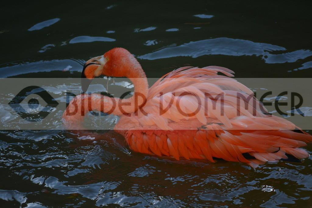 Flamingo Bilder   Roter Flamingo Bilder Italien
