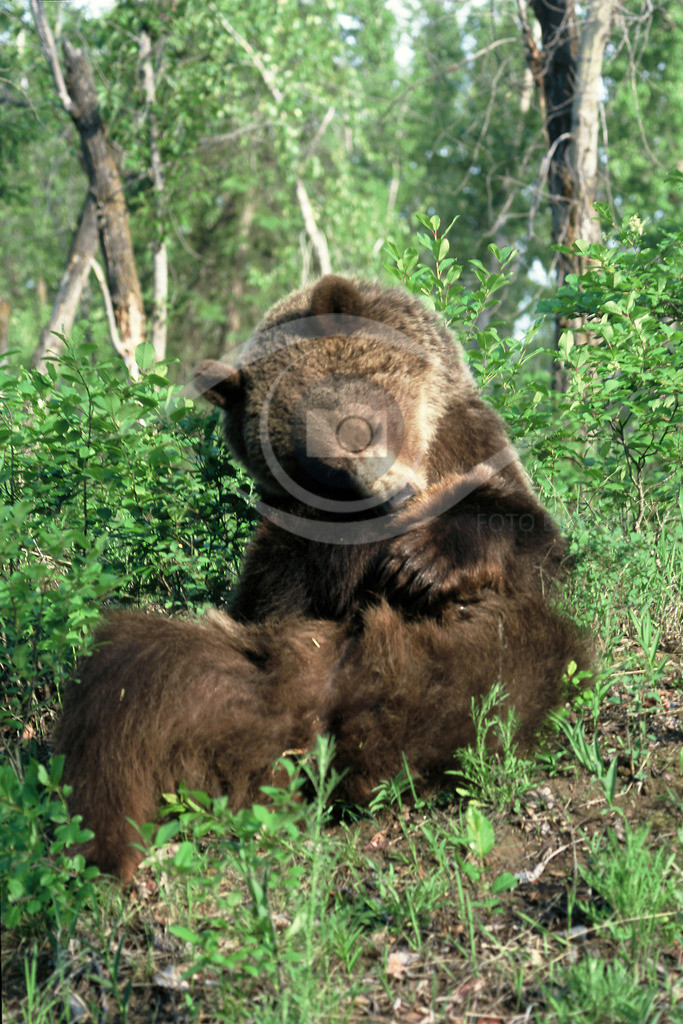 Grizzly_7-40x60