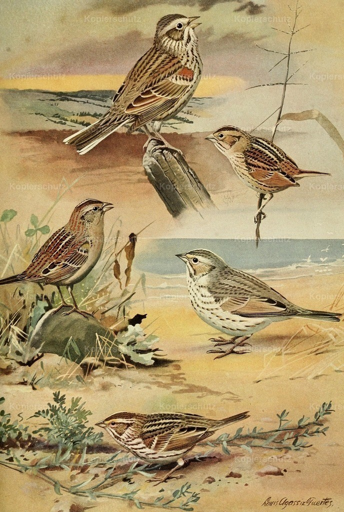 Fuertes_ L.A. (1874-1927) - Birds of Massachusetts 1925 - Sparrows